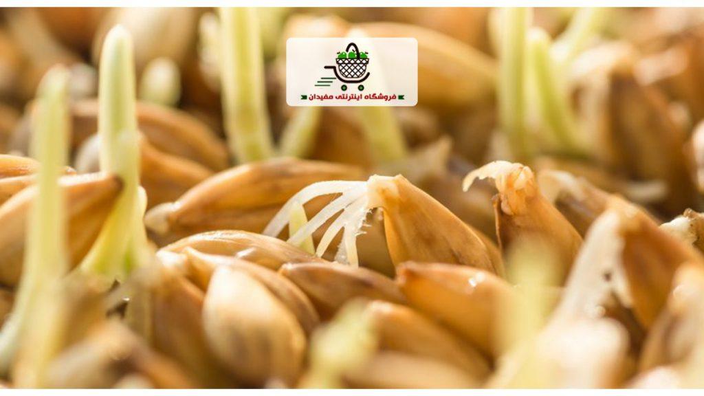 جوانه-جو-barley-sprout