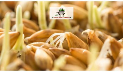 barley-sprout-