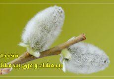 Salix_caprea_02