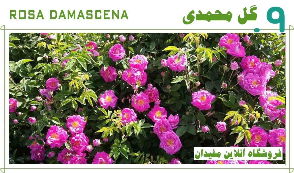 گل-محمدی-پادشاه-گیاهان-دارویی